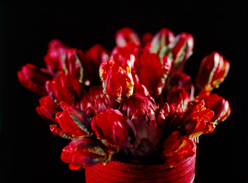 32554 Red Parrot Tulips for Valentines