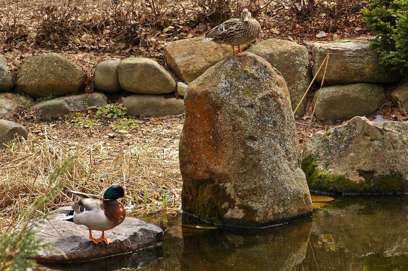 Ducks-3