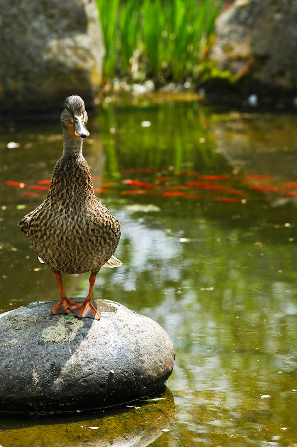 Ducks-10