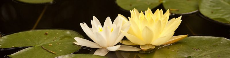 Water Lilies-8