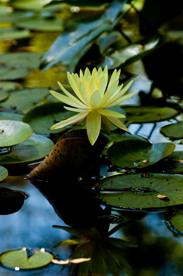 Water Lilies-1