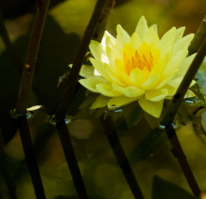 Water Lilies-3
