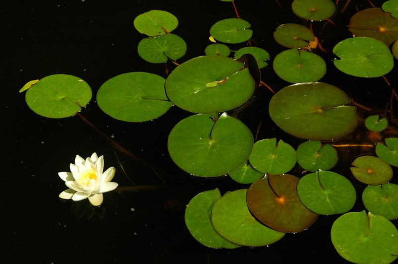 Water Lilies-4