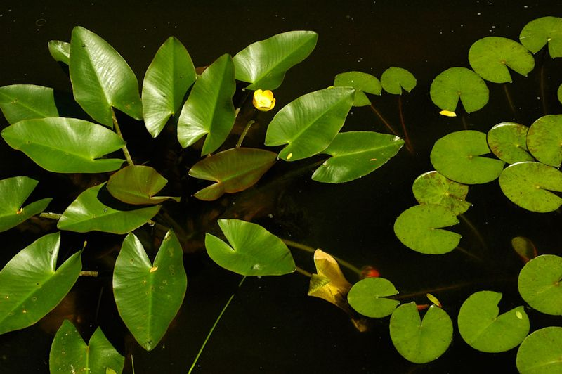 Water Lilies-9