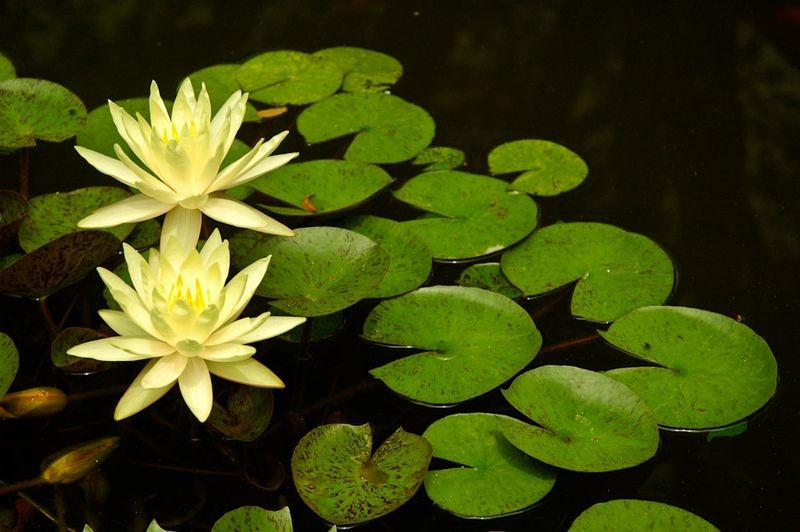 Water Lilies-12