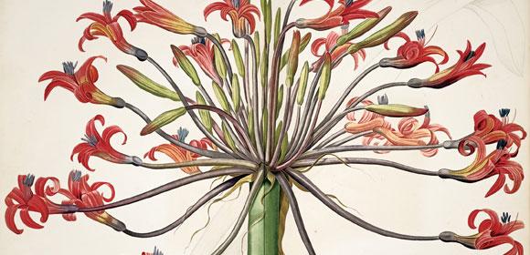 FloraMirabilis1-tp