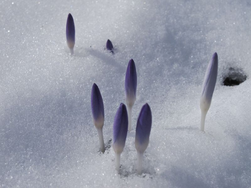 Buds in snow-4
