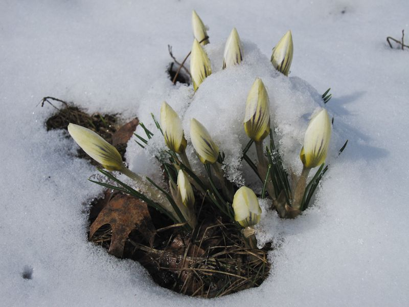 Buds in snow-1