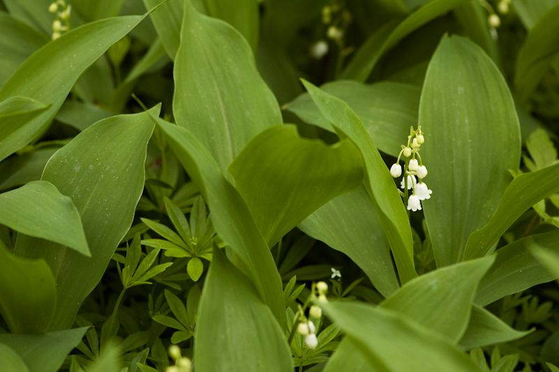 Lily of the Valley-4
