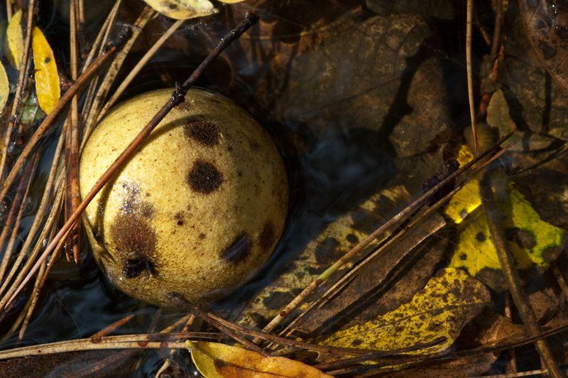 Black Walnuts-3