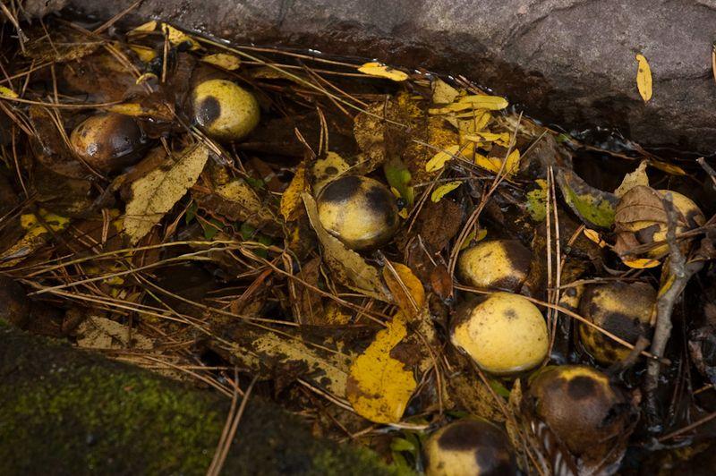 Black Walnuts-5