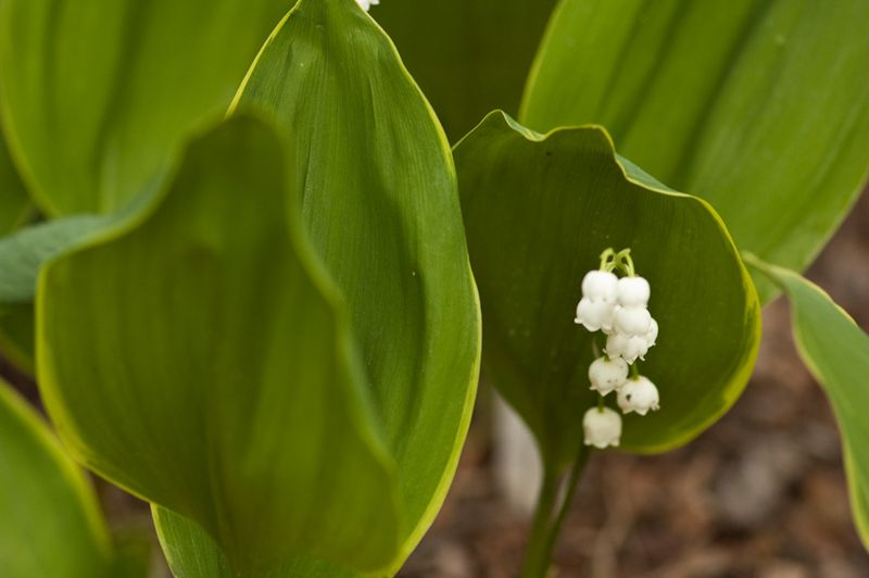 Lily of the Valley-3