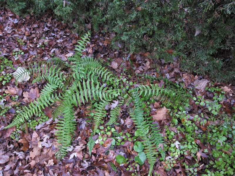Ferns in December-8