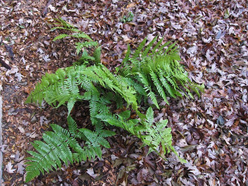 Ferns in December-9