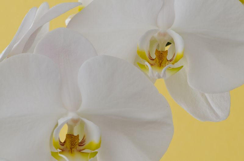 Orchid-7