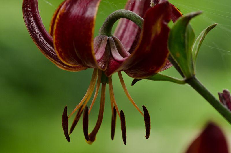 Lilies June 2011-11