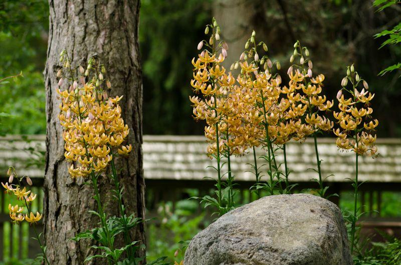 Lilies June 2011-3