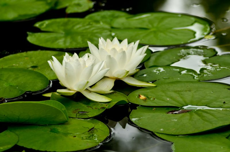Pond and Greens-1