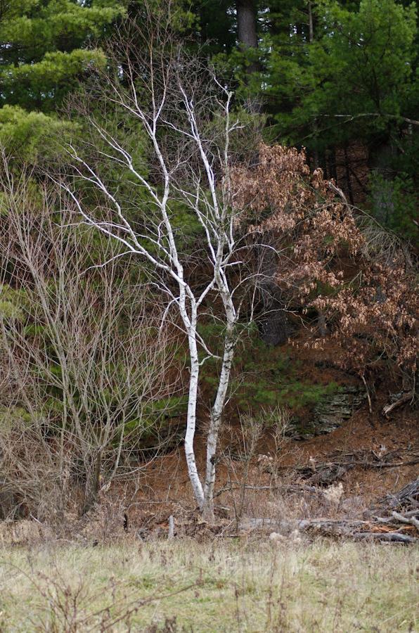 Thanksgiving 2011 Birches-1