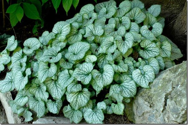 Brunnera-Jack-Frost-foliage_thumb