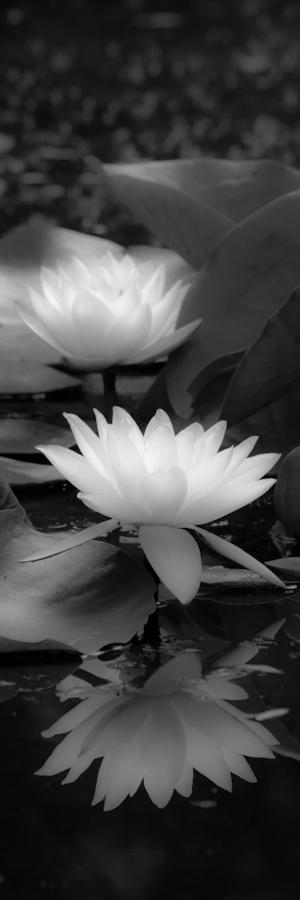 Water Lily B-W Test-1