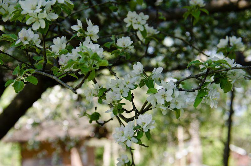 Spring blossoms-2