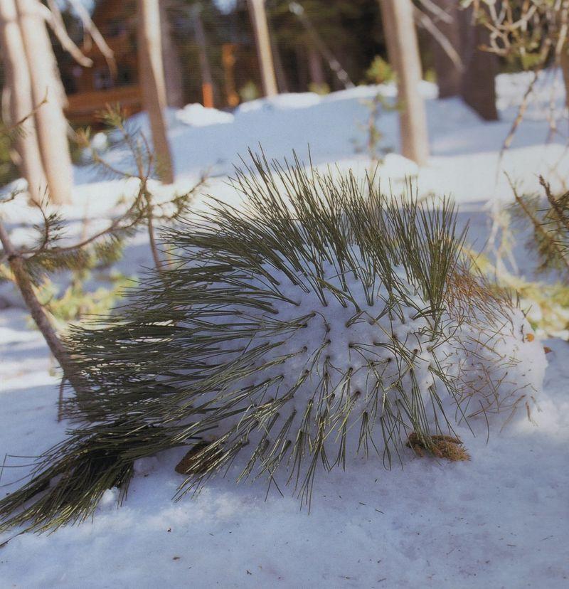 Snowporcupine