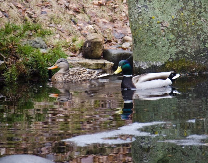 Ducks 14-2