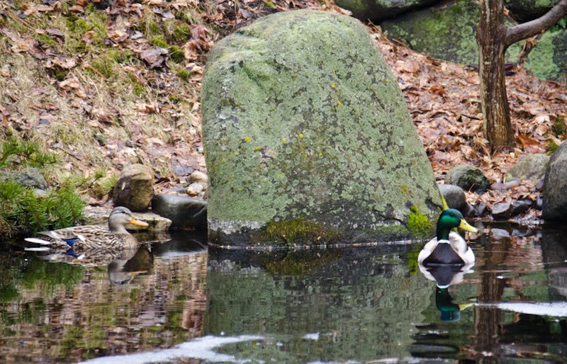 Ducks 14-1