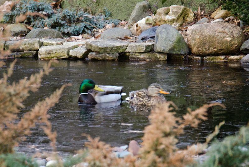 Ducks 14-3
