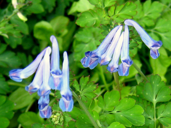 Corydalis sp blue ex dufu temple china 3
