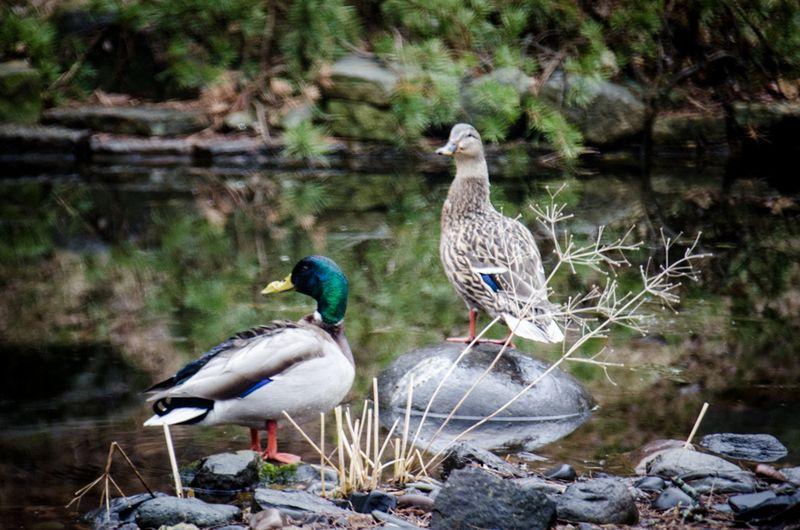 Ducks 2016