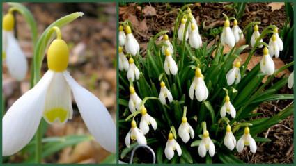 Galanthus-primrose-warburg-11-26-2016-1-07-58-pm