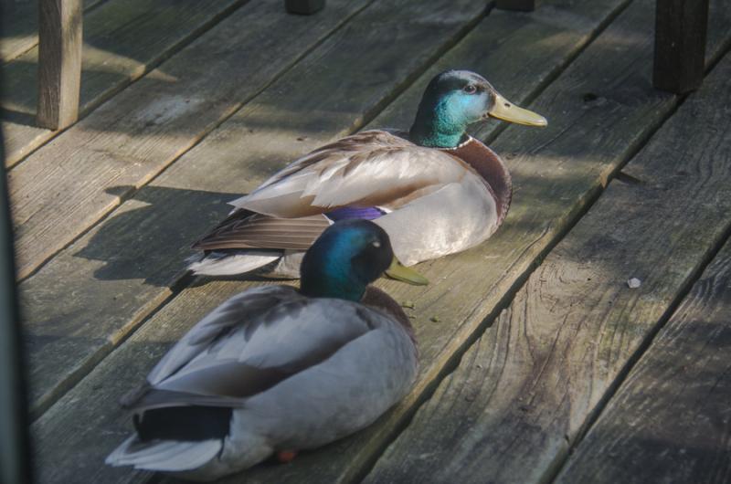 Ducks-6