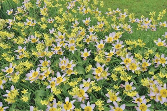 Hakari---Colorblends-Miniature-Daffodil-&-Tulip-Blend