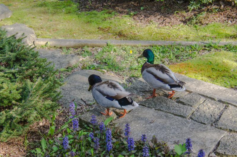 Ducks-7