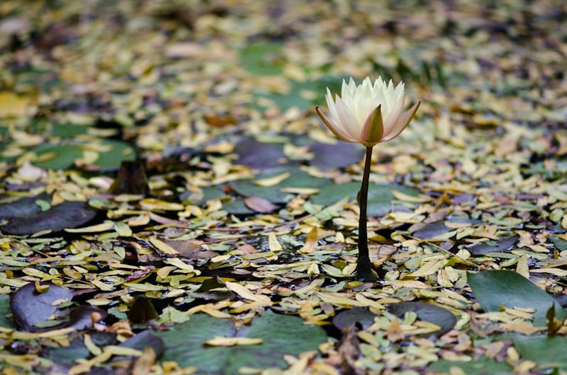 ~Last Water Lily-1