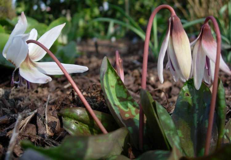 Erythronium dens-canis 'White Splendour' 2-2
